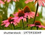 A Bee On An Echinacea Purpurea...