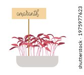 hand drawn amaranth microgreens....   Shutterstock .eps vector #1975977623