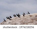 Flock Of Cormorants On Boulder...