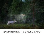 Wolf From Russia. Gray Wolf ...