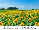 Image Of A Field Of Sunflowers...
