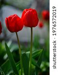 Two Red Tulip Flowers....