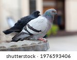 Two Feral Pigeons  Common Grey...