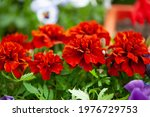 Close Up Of  Red Marigolds ...