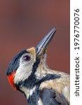 Greater Spotted Woodpecker Bird ...