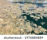 Sea Saliva Covering The...
