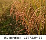 Organic Golden Paddy In The...