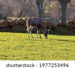 Blesbok Grazing On Grass On A...