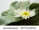 White Flower With Large Green...