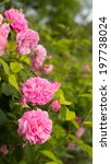 pink roses on the branch in the ... | Shutterstock . vector #197738024