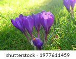 Beautiful Purple Crocus Flowers ...