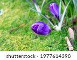 Closeups On Purple Crocus...