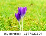 Flower Buds Of Purple Crocus On ...