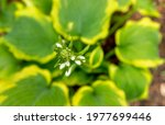 Close Up Of Hosta Flower About...