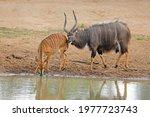 Male And Female Nyala Antelopes ...