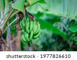 Green Organic Raw Banana...