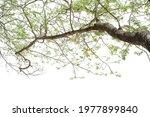 Big Branch Of Growth Tree...