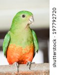 Small photo of Portrait of Australian King-Parrot Alisterus scapularis