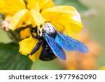 Xylocope  Black Bumblebee With...