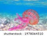 Mauve Stinger Purple Jellyfish  ...