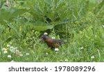 American Robin Among Grass ...