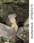 Small photo of American Pika, Ochotona princeps, sitting among rocks in the Yellowstone National Park, Wyoming, United States