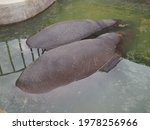 Two Hippos Lie In A Pond. Two...