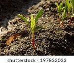 small seedlings of ash leaved... | Shutterstock . vector #197832023