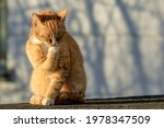 Ginger Cat Props His Chin With...