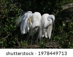 Great Egrets   Ardea Alba   In...