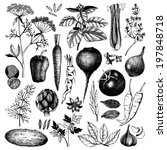 Vector collection of black nk hand drawn vegetables, herbs and spices. Vintage healthy food illustration isolated on white