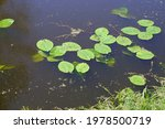 Water Lily Root Surface. Water...