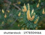 Young Shoots On Branches Of...
