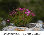 Wild Carnations From The...