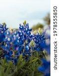 Blue Bonnet Flowers Blooming  ...