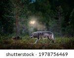 Europe Wildlife. Wolf From...