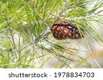 pinecone on a green pine | Shutterstock . vector #1978834703