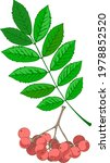 drawing of a rowan leaf and... | Shutterstock .eps vector #1978852520
