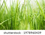 Reed And Young Horsetail In The ...