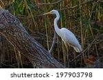 great white egret  egretta alba ... | Shutterstock . vector #197903798