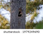 Woodpecker In The Hole Of A...