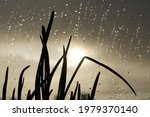 Grass  Onion  On Windowsill ...