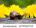 An Ordinary Garden Snail On An...