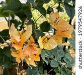 Bougainvillea Aka Flower Paper. ...