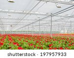 Blooming Colorful Gerberas In A ...