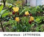 Iris Flower  Yellow And Purple  ...