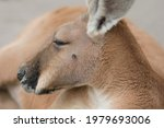 Portrait Of A Red Kangaroo ...