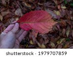 Red Leaf Just Fallen From Your...