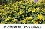 Heliopsis Helianthoides Is A...