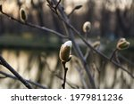 Magnolia Tree Branch Over The...